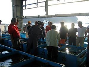 篠島漁港でのとらふぐ漁入札風景